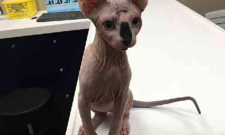 Medicina veterinaria felina