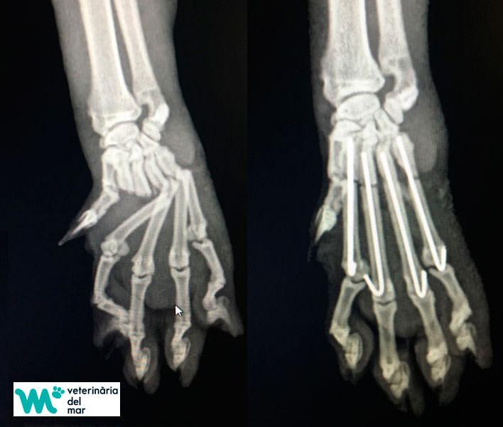 Radiologia ecografia veterinaria