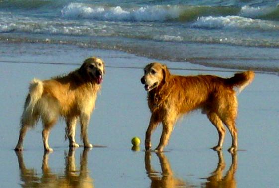 gossos-platja