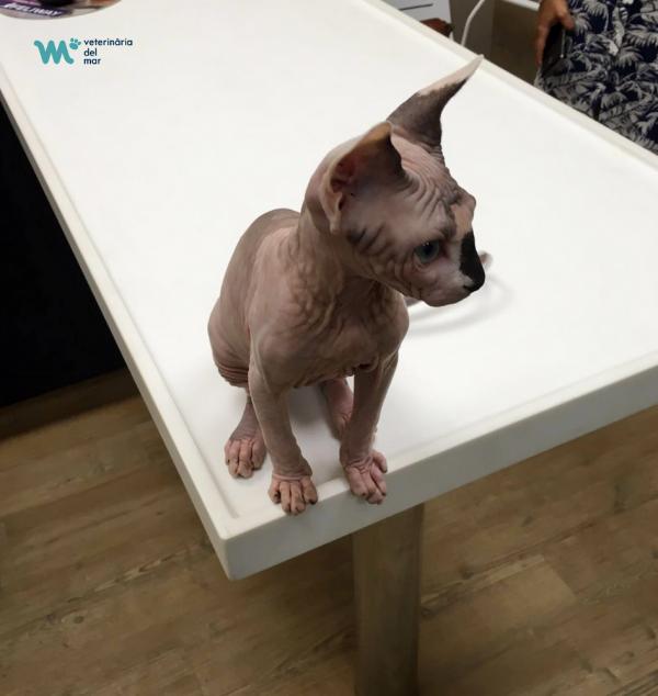 gat-esfinx-sobre-taula