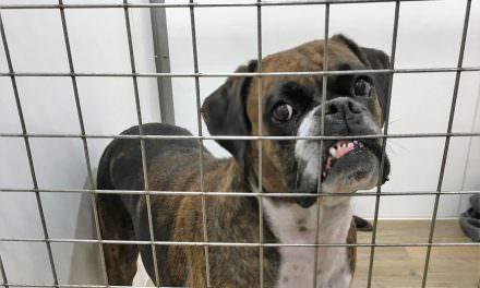 Epulis en gossos. Cas clínic veterinari: Boxer Lady
