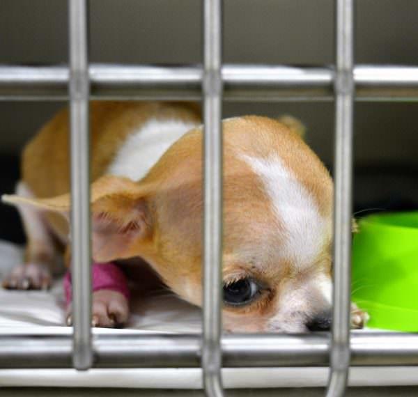 Veterinari 24h Barcelona | El cas del chihuahua cadell Foxy