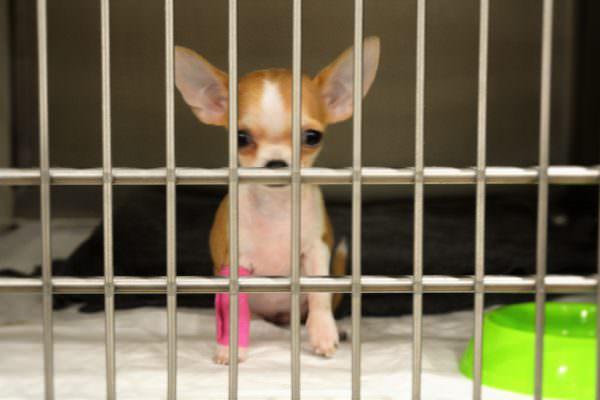 veterinaris barcelona chihuahua