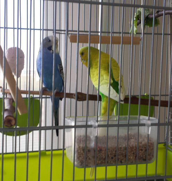 Un cas pel nostre veterinari d'exòtics: Els periquitos Lira i Limo
