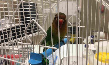 Veterinario de exóticos: El agaporni Kiwi es hembra
