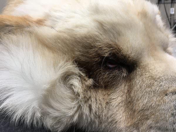 cirugia-oftalmologica-veterinaria-barcelona