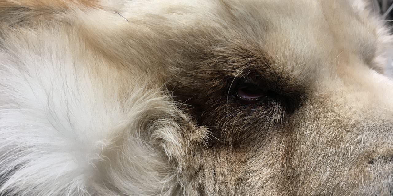 Cirurgia oftalmològica veterinària: el cas de la chow-chow Sora