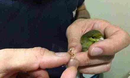 Pododermatitis en canarios: el caso clínico veterinario de Gallarre