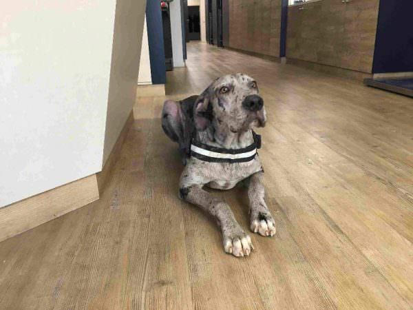 Sarna demodécica: el caso clínico veterinario del dogo alemán Thor