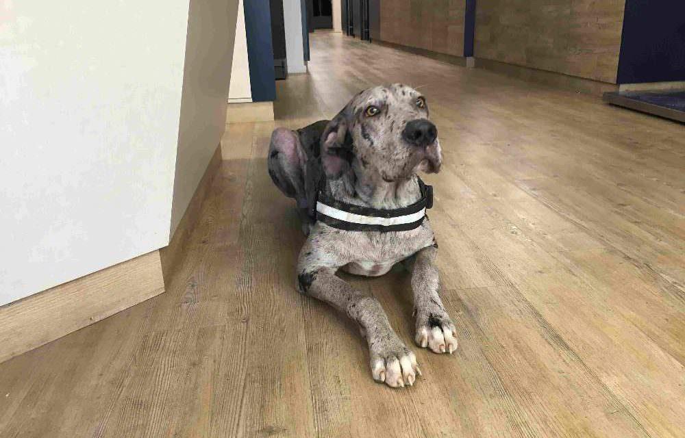 Cas clínic veterinari: El dogo alemany Thor | Sarna demodècica