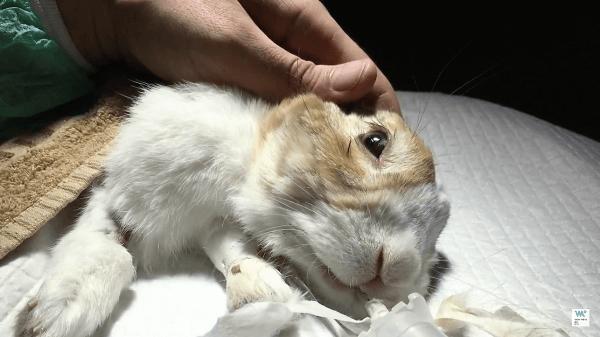 Dilatación y obstrucción gástrica en conejos. El caso clínico veterinario de Teodor