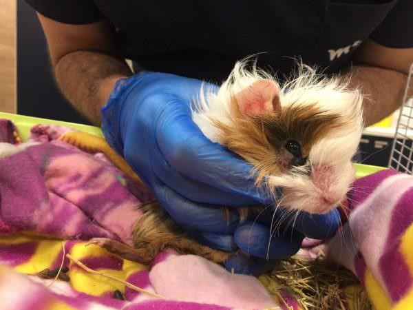 Cobaya con neumonía y dermatofitosis. El caso clínico veterinario de Audrey