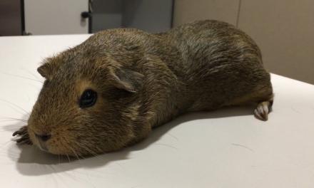 Veterinari exòtics: el cas clínic del conill d'Índies Marró