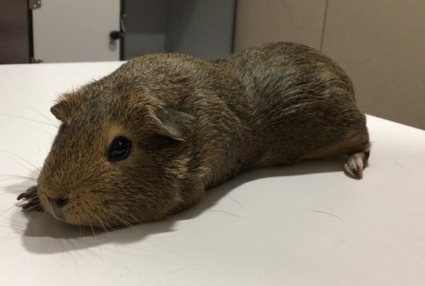 veterinari-exotics-barcelona-conill-dindies