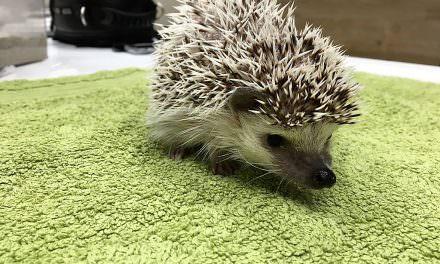 Sarna en eriçons : el casclínic veterinari de Darina