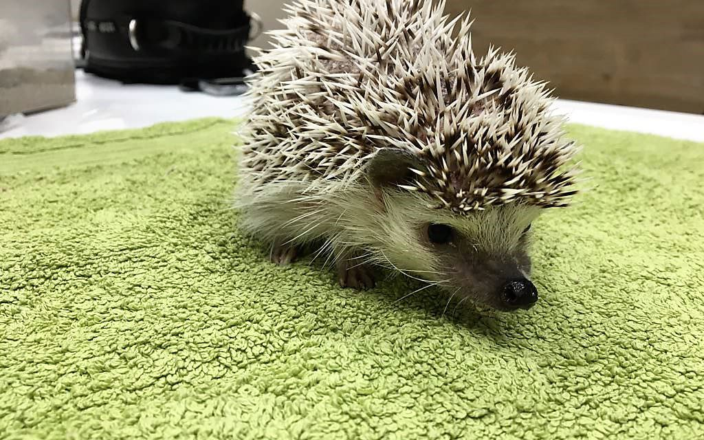 Sarna en erizos : el casoclínico veterinario de Darina