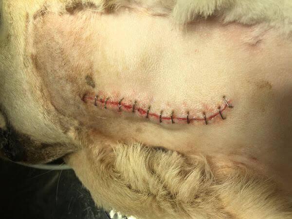 Herida suturada parálisis laríngea