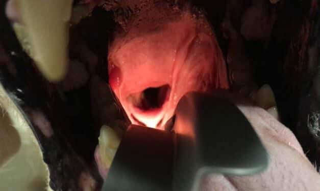 Paràlisi laríngia en Golden Retriever | El cas clínico veterinari d'en Sake