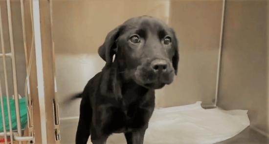 Persistència de l'arc aòrtic en cadell de Labrador