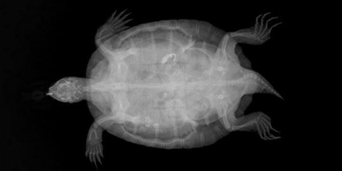 Obstrucció intestinal per cos estrany en tortuga d'aigua