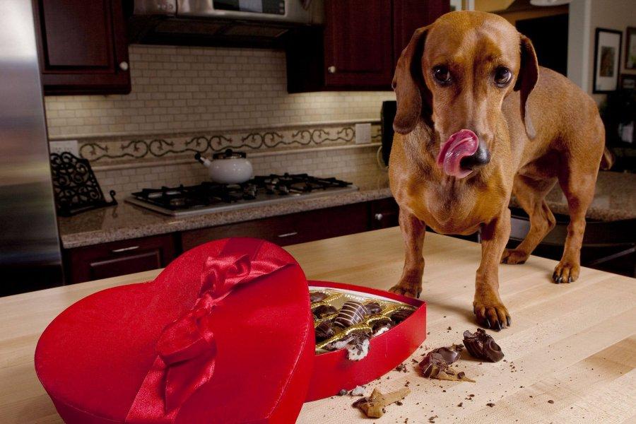 Intoxicación por teobromina en perro