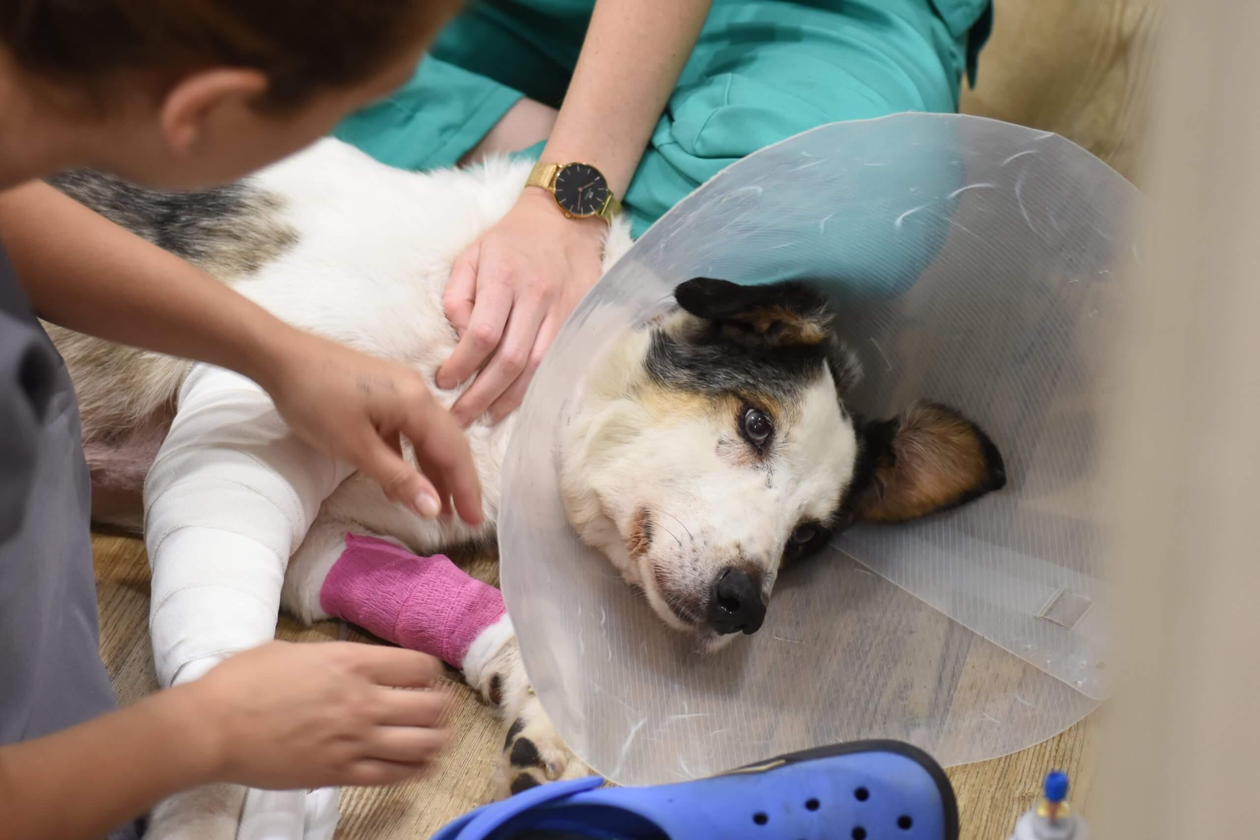 Leishmaniosis en perro